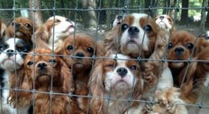 Tips on how to avoid puppy farmed dogs